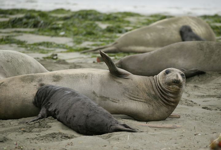 Motherly elephant seal love.