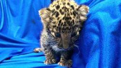 Ινδία: Νεογέννητη λεοπάρδαλη εντοπίστηκε στην τσάντα επιβάτη