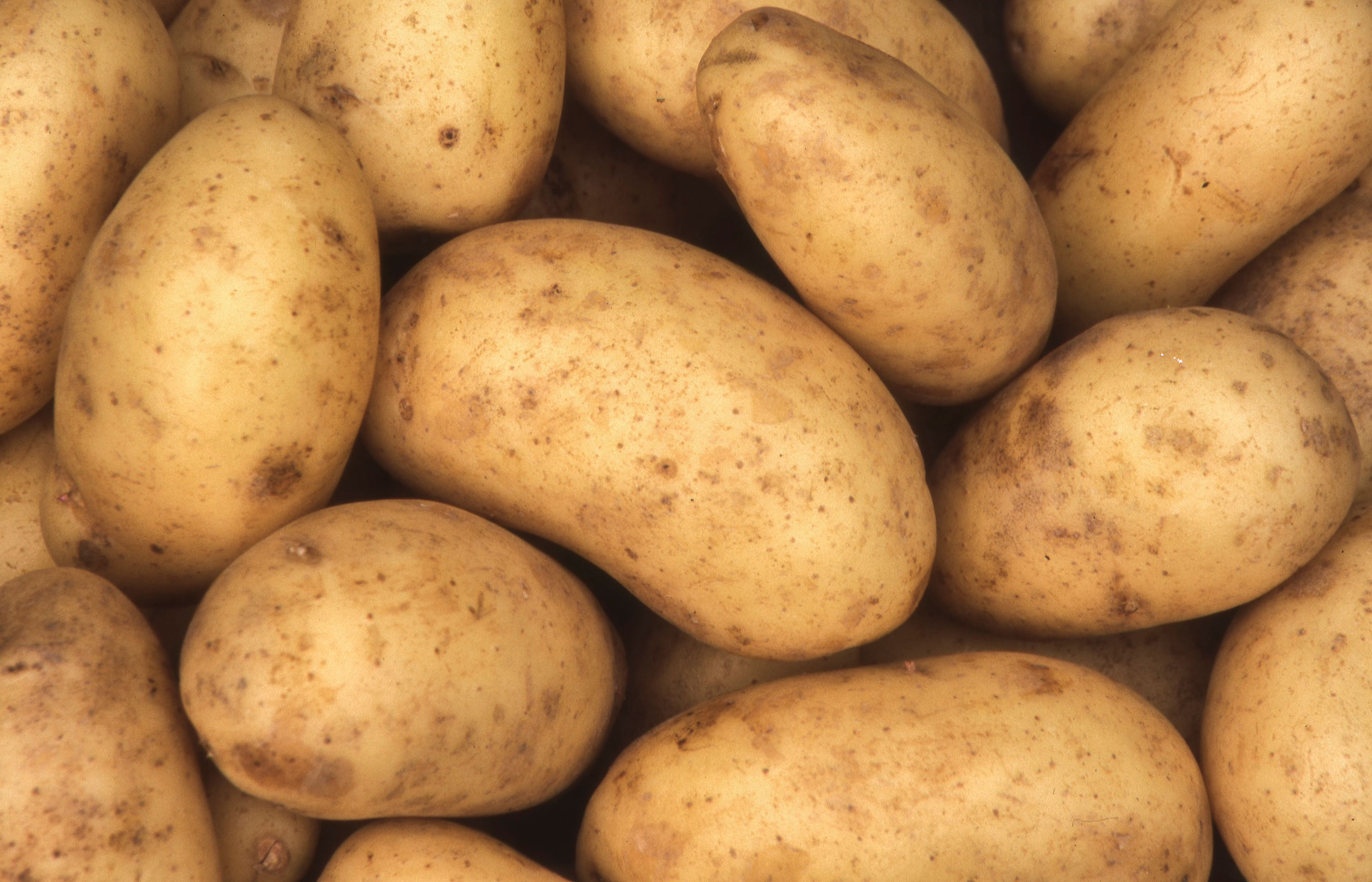 Charlotte potatoes background which are a popular early variety potato