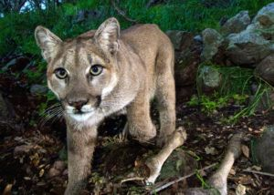 Ventura County Planning Commission passes safe corridors for wildlife resolution
