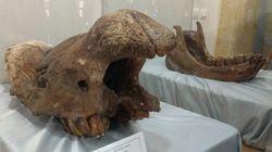 Découverte d'ossements fossiles de trois animaux à