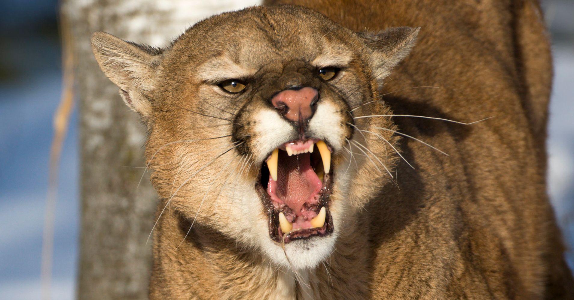 0dbf0a843 Colorado Man Kills Mountain Lion Who Attacked Him While Jogging | HuffPost