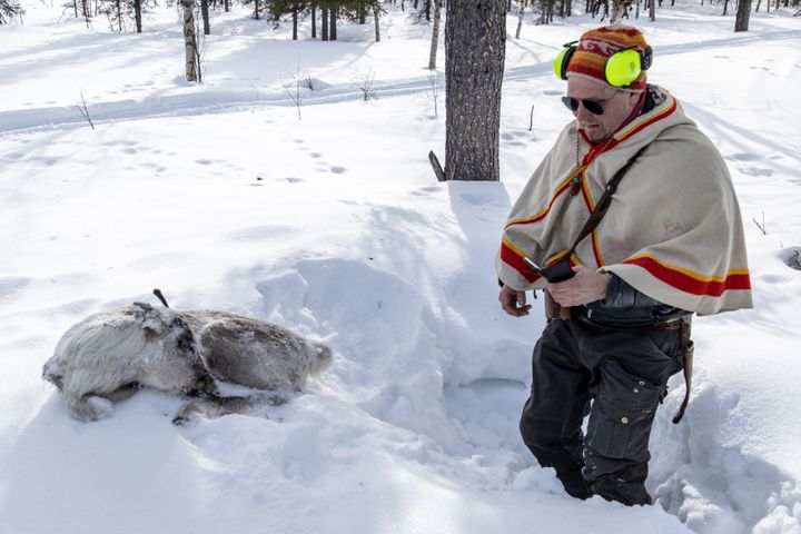 "Lars-Ánte Kuhmunen finding a reindeer calf in the snow. ""This one was starving to death,"" he said. ""That's the climate change"
