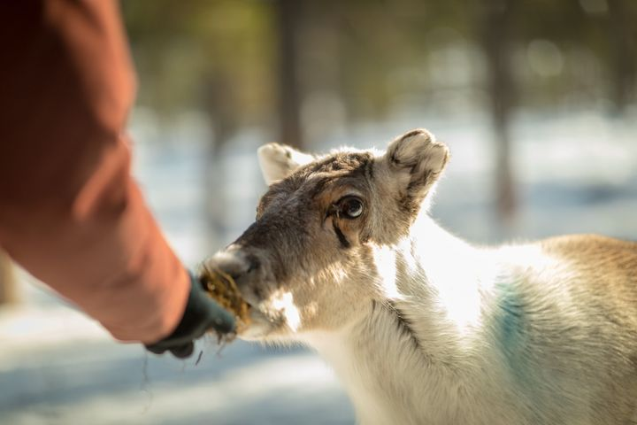 To survive in the changing climate, Sámi herders are purchasing supplementary feed to sustain reindeer through winter.