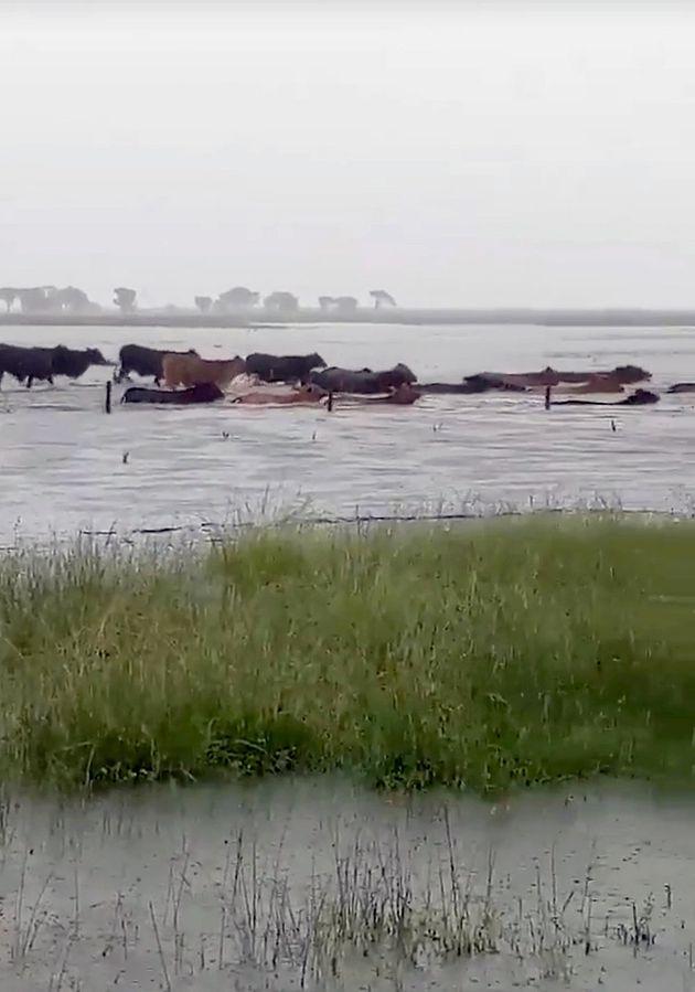 Εκατοντάδες χιλιάδες νεκρές αγελάδες από τις πλημμύρες στην