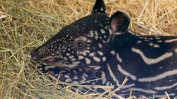 Rare Baby Tapir Born At Edinburgh