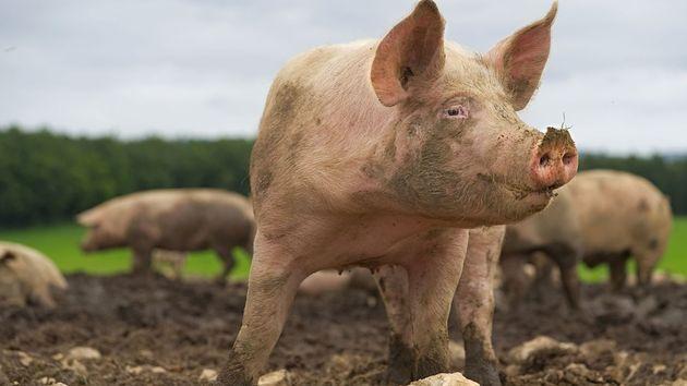Φρικτός θάνατος για Ρωσίδα κτηνοτρόφο - Την έφαγαν ζωντανή τα γουρούνια