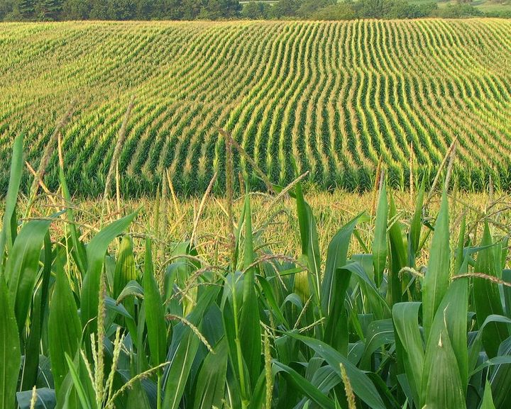 "GM corn is widely planted in the United States already. <a rel=""nofollow"" href=""https://www.flickr.com/photos/16502322@N03/48"