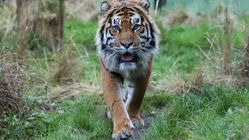 Popular Sumatran Tiger Melati Killed By Intended Mate At London