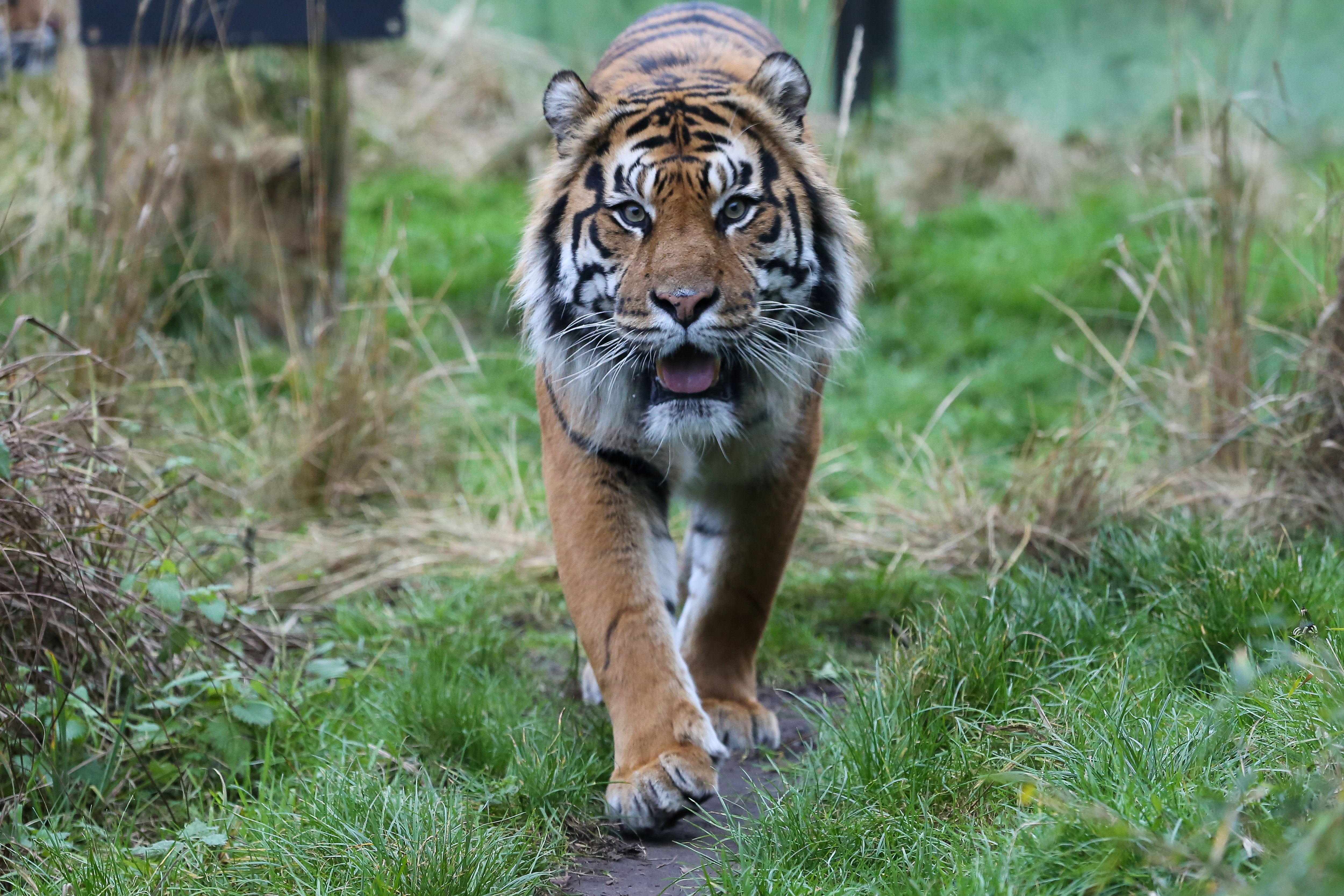 LONDON, UNITED KINGDOM - 2019/01/03: File Picture of the Sumatran Tigress Melati seen at London Zoo. It has been reported that on the 8th February 2019, ten year old Sumatran Tigress Melati was killed while being introduced to a new 7 year old male Asim at London Zoo. (Photo by Dinendra Haria/SOPA Images/LightRocket via Getty Images)
