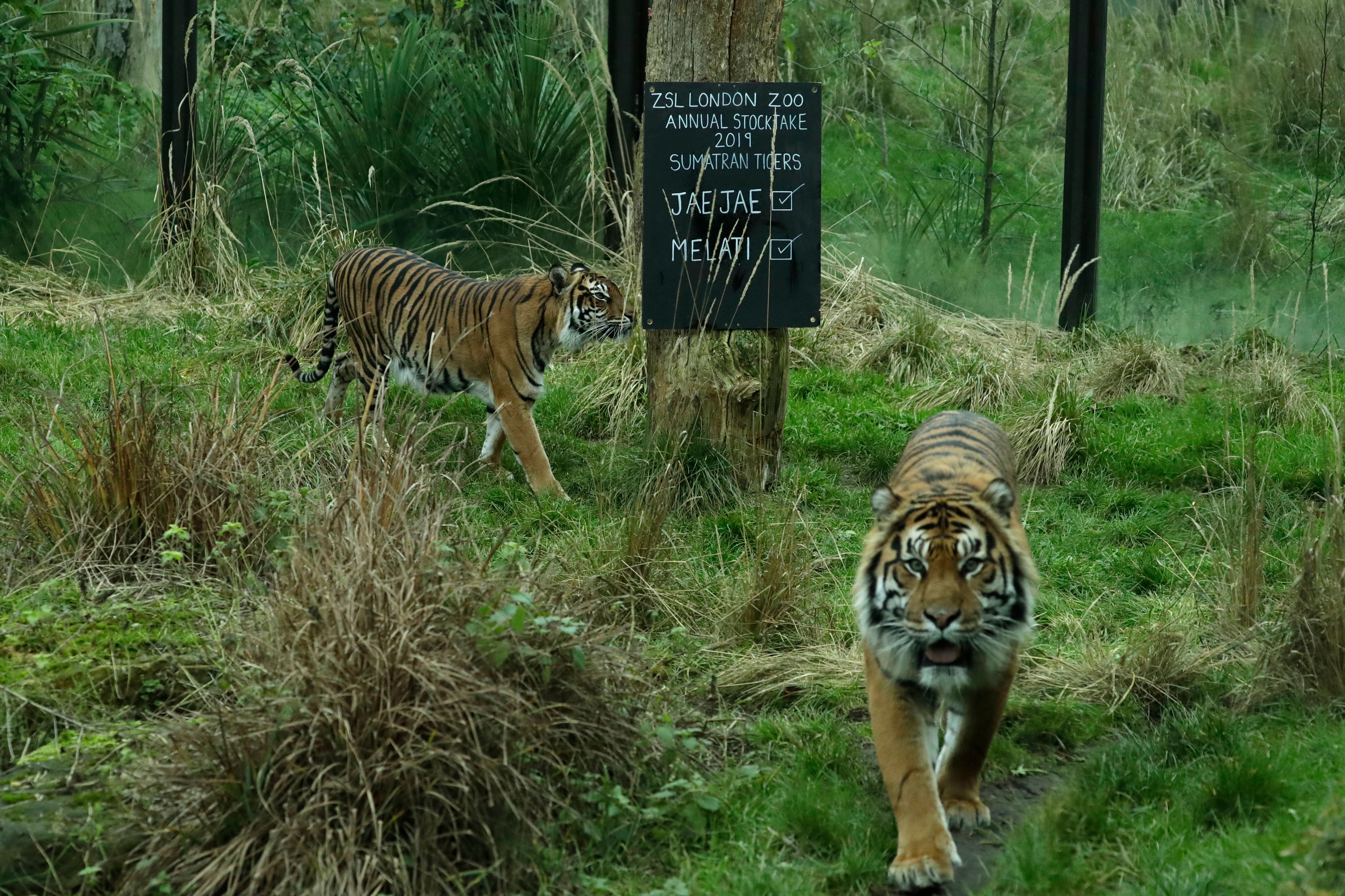 Endangered tiger killed by potential mate in zoo tragedy