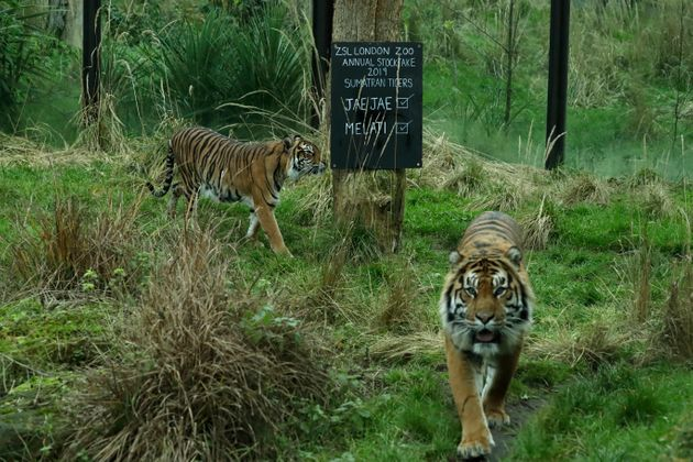 Melati (right) walks with her previous mate Jae Jae at the zoo.