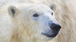 Un archipel arctique russe sonne l'alarme face à l'«invasion» d'ours polaires