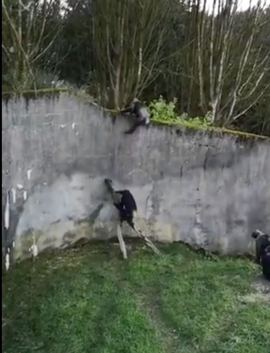 Watch Chimps At Belfast Zoo Use Branch Ladder And Escape From Their