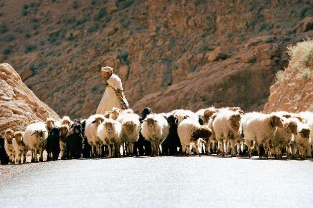 L'importation de moutons du Maroc pourrait, à nouveau, être interdite à