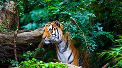 Tiger Spotted In Gujarat After Years, Forest Department Begins Efforts To Locate