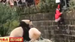 Girl Falls In Panda Enclosure In