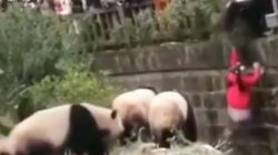 Girl Falls Into Giant Panda Enclosure At Chinese Breeding