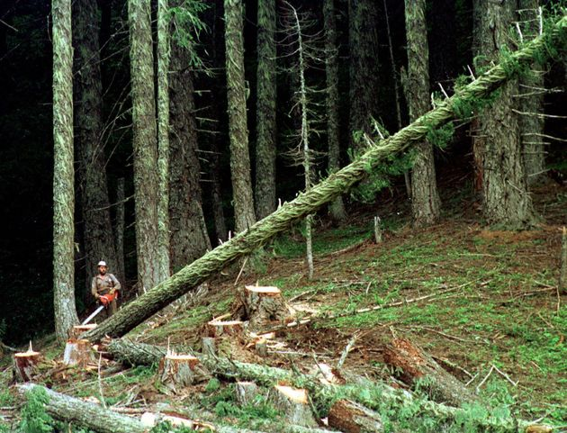 In this undated file photo, a large fir tree heads to the forest floor after it is cut by an unidentified...