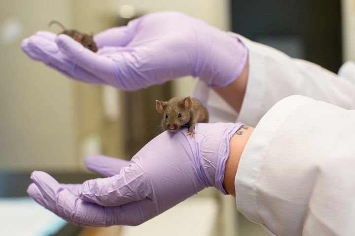 A mouse in the pathology and geriatrics lab at the University of Michigan.