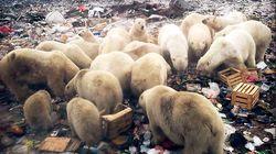 북극곰 습격으로 비상사태 선포된 러시아 마을 상황