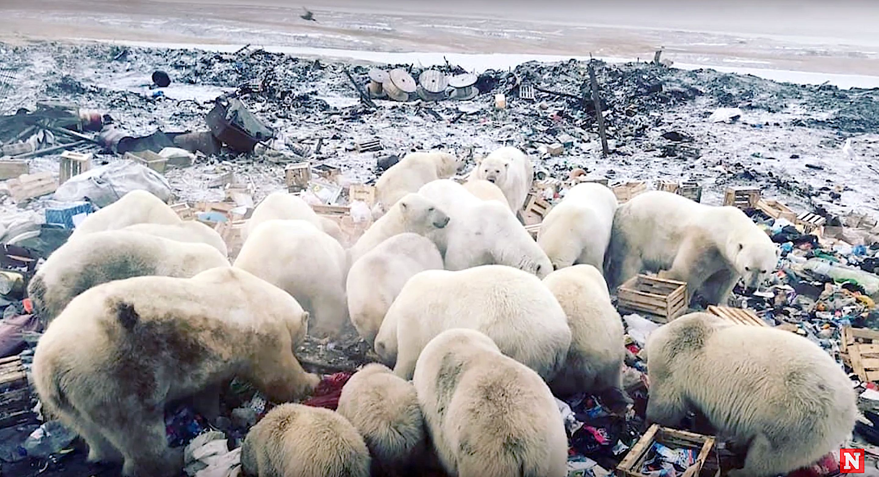 Polar bears invade a town in Russia.