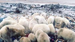 50 Polar Bears Searching For Food Invade Russian Town, Terrifying