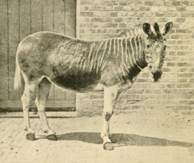 ロンドン動物園で飼育されていたクアッガ(1875年撮影)