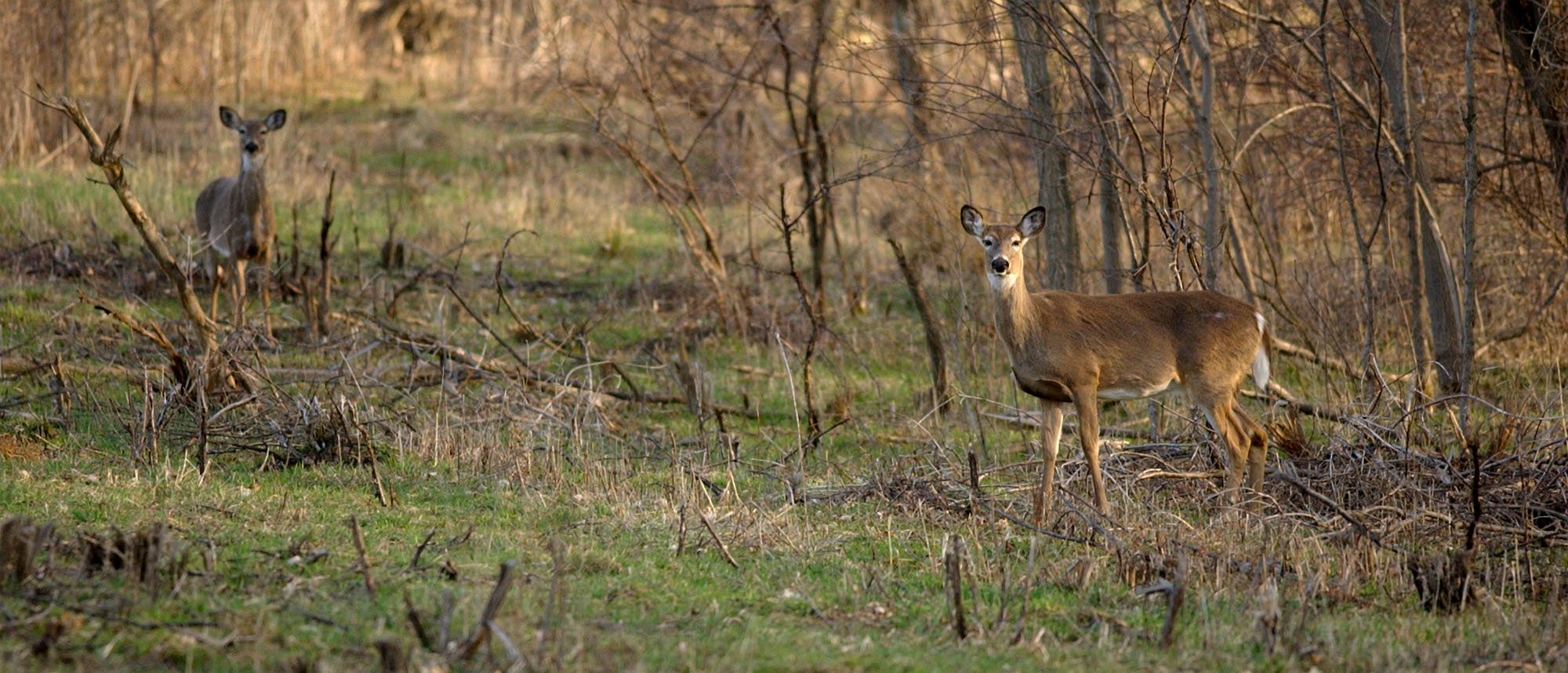Two deer keep a look out while grazing in a wooded area in Owasco, N.Y., Saturday, April 16, 2005. Chronic wasting disease was detected earlier this month in two private captive deer herds in nearby Oneida County, the first time it was found outside the Midwest or Rocky Mountain regions. The fatal nervous system ailment has ravaged captive and wild deer and elk herds in a dozen states and two Canadian provinces since it was first recognized in the 1960s. (AP Photo/Kevin Rivoli)