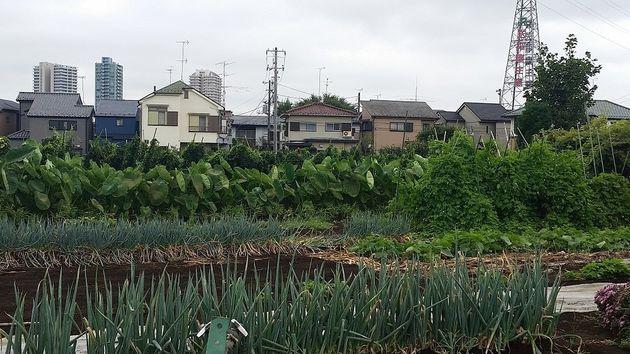 ●周囲に住宅が迫る中で営農が続けられている生産緑地=東京都練馬区