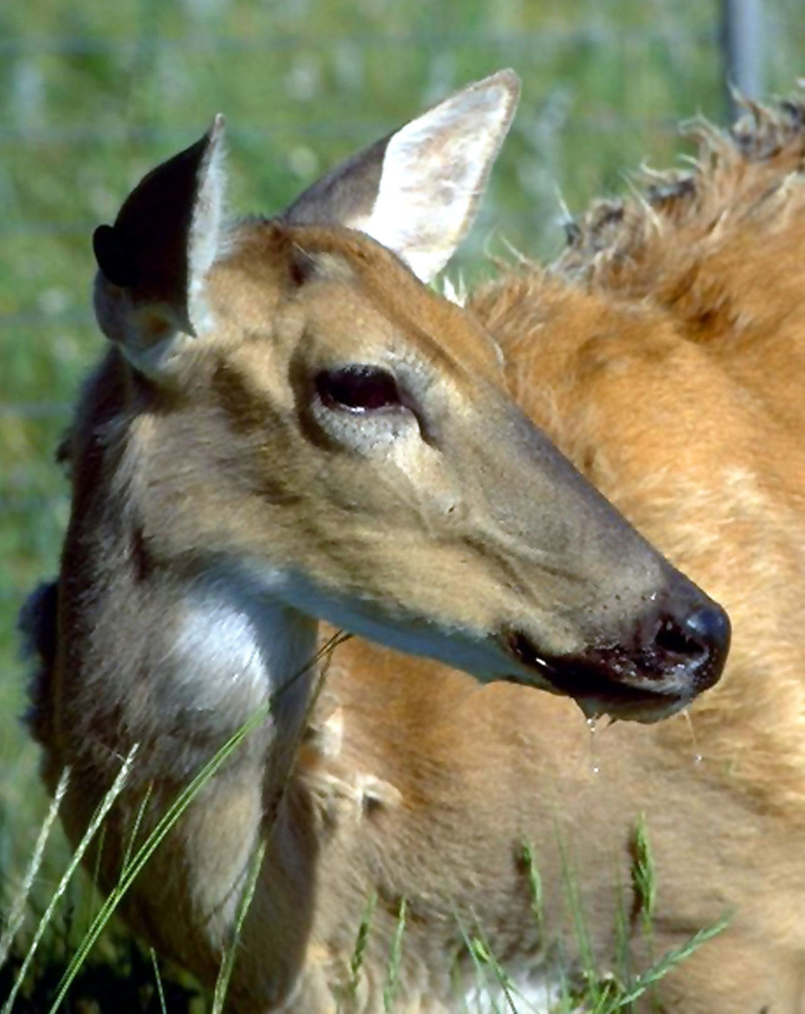 Image of: Whitetailed Deer Showing Symptoms Of Chronic Wasting Disease Including Drooling Is Huffpost Experts Warn Fatal zombie Deer Disease Could Spread To Humans