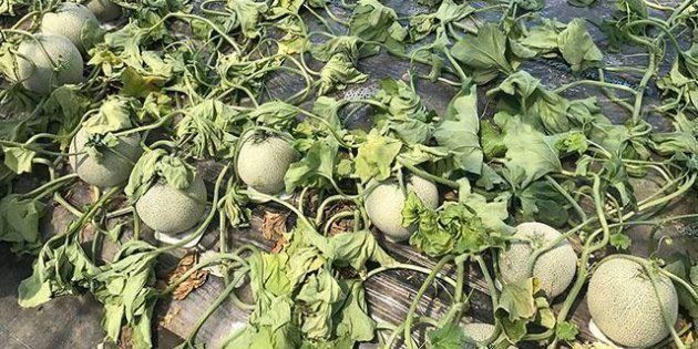 除草剤が撒かれたメロン