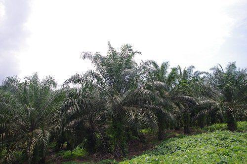 ●パーム油用のアブラヤシ農園=マレーシア・サラワク州