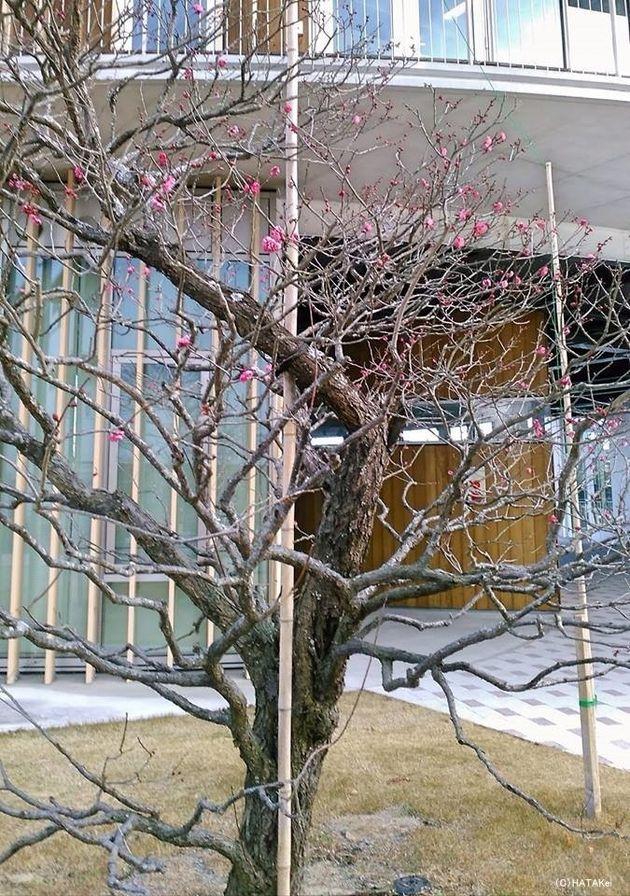 寒紅梅の如く〜厳冬に先駆けて咲かん