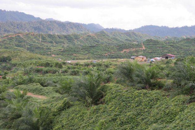 植栽されたばかりのアブラヤシ園.大規模農園は奥地へと広がっている