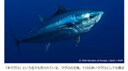 大西洋クロマグロに過剰漁獲と犯罪的行為の疑い