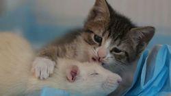 恐れ知らずのネズミが親のいない子猫をお世話する、不思議な猫カフェ