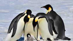 皇帝ペンギン「絶滅危機」に警鐘を鳴らす:映画『皇帝ペンギンただいま』監督インタビュー--フォーサイト編集部