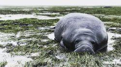 マナティーも救出される。大型ハリケーン「イルマ」で海も干上がる