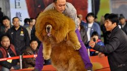 中国でチベット犬バブルが崩壊 捨てられた野犬が大量発生
