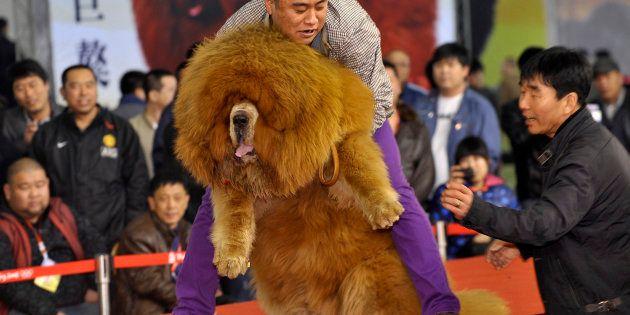 チベット犬のコンテスト(中国・瀋陽