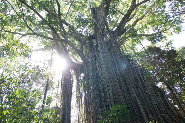 Low Angle View Of Banyan Tree In