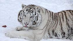 人里に現れたシベリアトラ、自然保護区周辺に移送