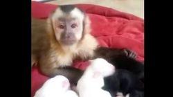 サル、子犬が可愛くてナデナデ。ナデナデ。(動画)