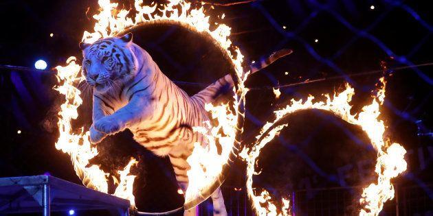 モナコ公国で開かれた「モンテカルロ国際サーカス・フェスティバル」で火の輪をくぐるトラ。動物にサーカスで芸をさせる国は次第に減ってきている=2017年1月