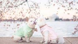 桜の下で、仲良しわんこが婚約写真を撮影したわん(画像)