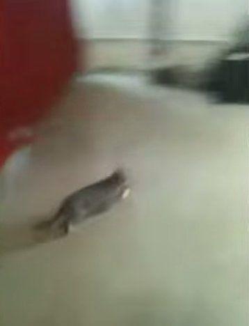 猫「ピ、ピザが食べたかったんだよぉぉおおおおぉ」【動画】