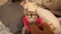 小顔ローラーにハマる猫、元々小顔がますます小顔に