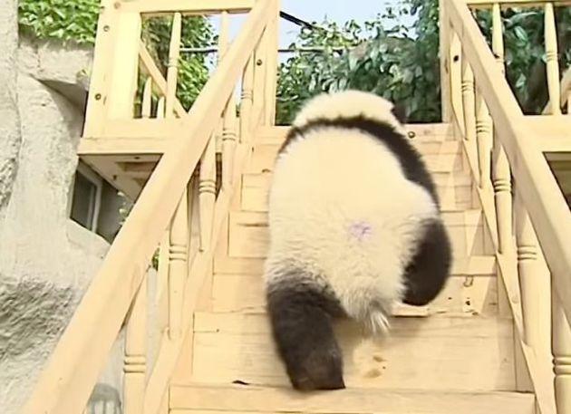 パンダたち、滑り台が楽しすぎて「わあああーー」(動画)