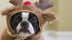 クリスマスの可愛い子犬たち、実はこう思ってた?(画像集)